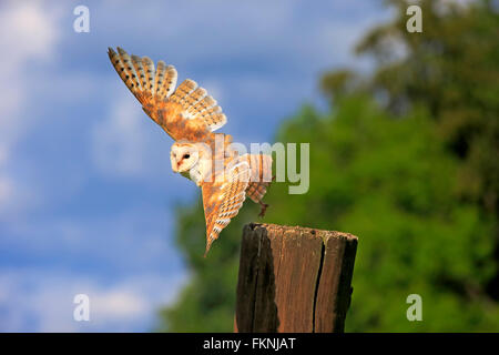 Barn Owl, Eifel, Germany, Europe / (Tyto alba) - Stock Photo