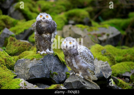 Snowy Owl, young birds, Scandinavia, Europe / (Nyctea scandiaca) - Stock Photo