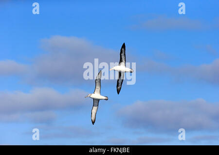 Black-Browed Albatross, Cape of the Good Hope, South Africa, Africa / (Thalassarche melanophrys) - Stock Photo