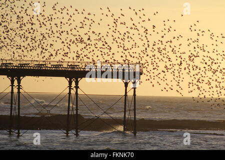 Aberystwyth, Wales, UK. 9th March, 2016.  Weather: sunset when a gigantic murmuration of starlings return to roost - Stock Photo