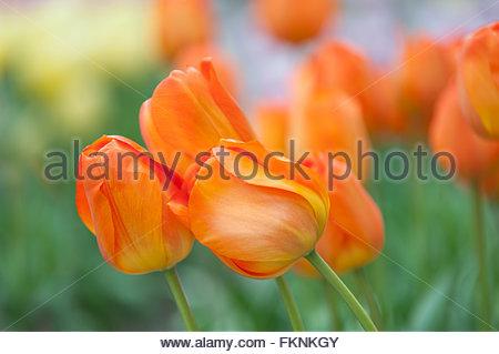 Dutch orange tulips close up. Selective focus. Photographed in Keukenhof botanic garden in Apriil, 2015 - Stock Photo