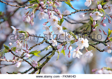 Spring cherry blossom branch close up against blue sky. Photographed in Keukenhof botanic garden in April, 2015 - Stock Photo