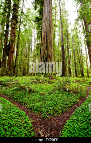 Clover covered trails through the giant redwoods at Jedediah Smith State Park in Northern California, USA. - Stock Photo