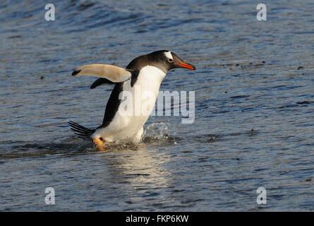 Long-tailed gentoo penguin  (Pygoscelis papua) enter the sea near their nesting colony on Saunders Island. Falkland - Stock Photo