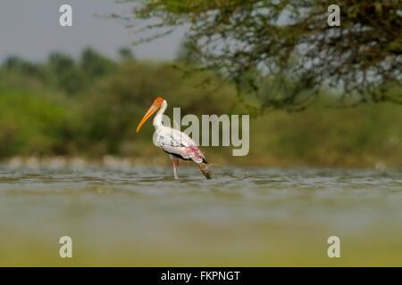 Painted stork in Koonthankulam bird sanctuary - Stock Photo