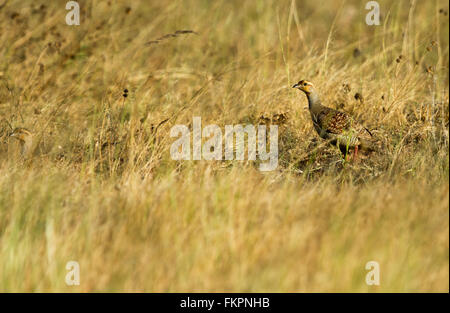 francolin,in Koonthankulam bird sanctuary - Stock Photo