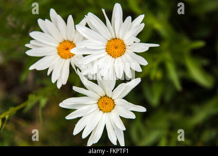 Oxeye Daisies growing in the mountains near Breckenridge, Colorado. - Stock Photo
