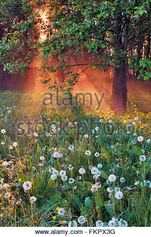 Amazing forest with blooming dandelions in the morning sun - Stock Photo