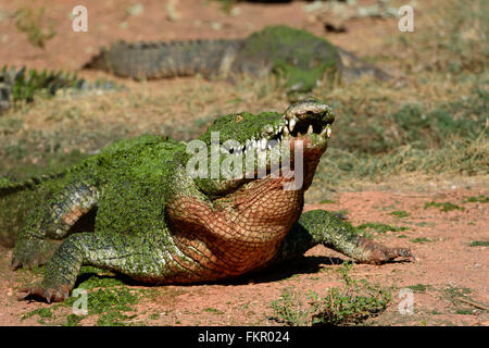 Saltwater Crocodile (Crocodylus porosus), Broome Wildlife Park, Western Australia - Stock Photo