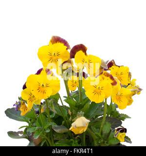Viola cornuta flower isolated on white background - Stock Photo