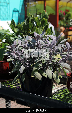 Growing Salvia officinalis Purpurascens or known as Purple Sage in a pot - Stock Photo