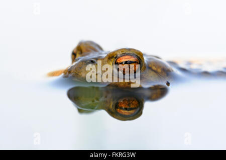 Common Toad / Erdkroete ( Bufo bufo ) while spawning season, floats on white colored water surface; waiting for - Stock Photo