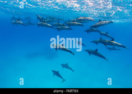 A pod of spinner dolphins {Stenella longirostris} in the Fury Shoals. - Stock Photo