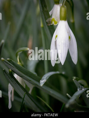 Single common snowdrop (Galanthus nivalis) with rain drops on leaves - Stock Photo