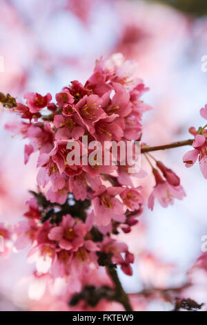 Fresh, blooming tree in spring with pink flowers - Stock Photo
