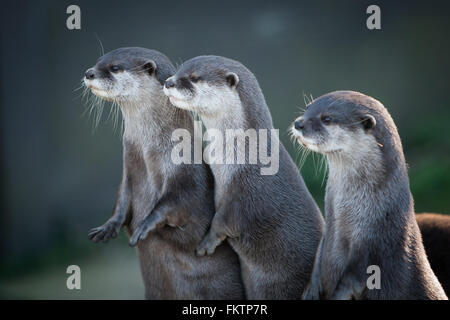 Three captive Asian Small Clawed Otters looking into the distance. - Stock Photo