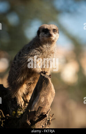 Captive meerkat basks in the winter sun at Twycross Zoo, Warwickshire, UK. - Stock Photo