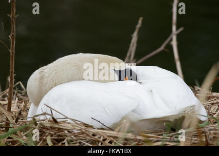 Single Mute Swan (Cynus olor) sleeping and incubating eggs on the nest. - Stock Photo