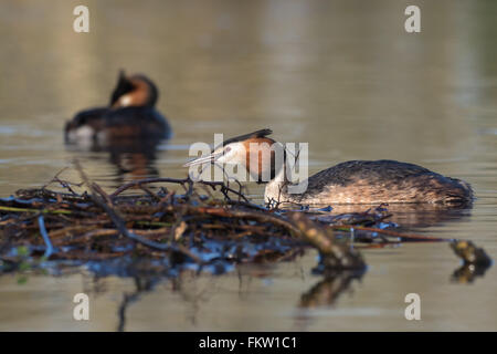 Pair of Great crested grebes ( Podiceps cristatus) around the nest site. - Stock Photo