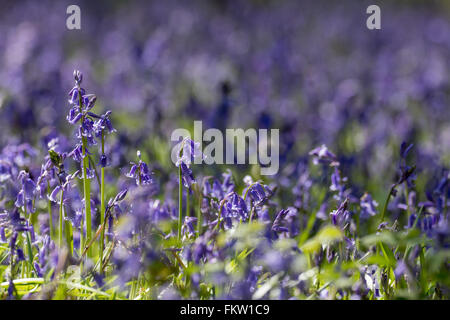 Blanket of Common Bluebells (Hyacinthoides non-scripta) in springtime. - Stock Photo