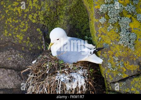Black-legged Kittiwake (Rissa tridactyla) on nest in rock crevice - Stock Photo