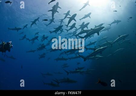 Scuba diver approaching a large school of silky sharks (Carcharhinus falciformis), Roca Partida, Revillagigedo, - Stock Photo