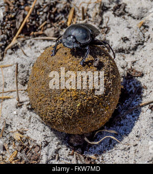 Green-grooved Dung Beetle on ball of dung - Stock Photo