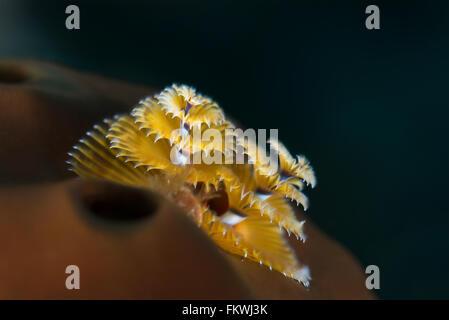 Two Christmas tree worms (Spirobranchus giganteus) living on a sponge. Bahamas, December - Stock Photo