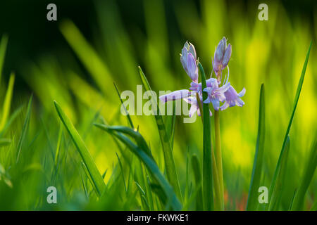 Spanish Bluebell {Hyacinthoides hispanica} in front of long grass, in soft evening sunlight. Spring flowers. North - Stock Photo