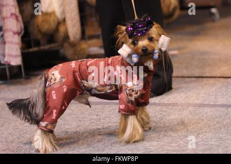 Birmingham, UK. 10th March, 2016. A Yorkshire Terrier dressed for success at Crufts. Credit: Jon Freeman/Alamy Live - Stock Photo