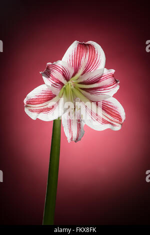 White amaryllis bloom with red stripes. Natural blooming flower blossom. Hippeastrum isolated on the red background. - Stock Photo