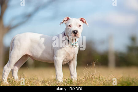 White American Staffordshire terrier puppy standing on grass - Stock Photo