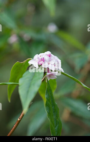 how to grow daphne jacqueline postill