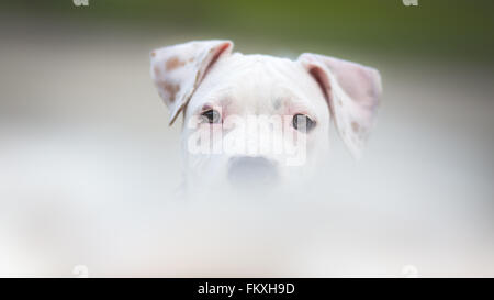 White American Staffordshire terrier puppy - Stock Photo