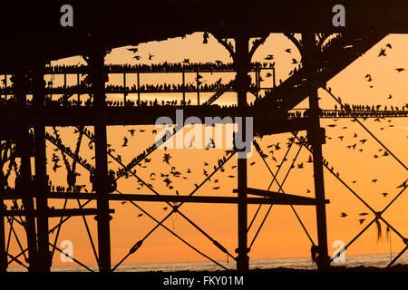 Aberystwyth Wales UK, Thursday 10 March 2016   UK weather:s As the sun sets, flocks of thousands of tiny starlings - Stock Photo