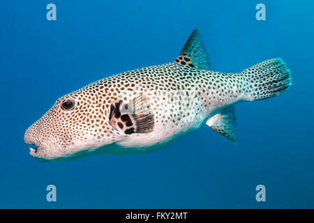 Star puffer {Arothron stellatus}, hovering in blue water. These fish grow to nearly 1 meter long and are the larges - Stock Photo