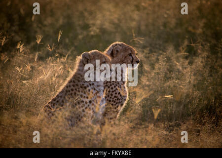 Juvenile Cheetah cubs backlit in the early morning sunlight - Stock Photo