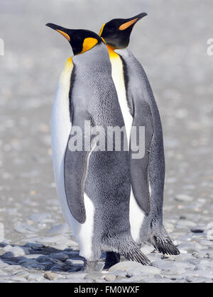 Two King penguins (Aptenodytes patagonicus) on the beach near their nesting colony. Salisbury Plain, Bay of Isles, - Stock Photo