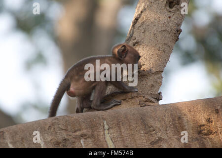Baby langur crouched on branch - Stock Photo