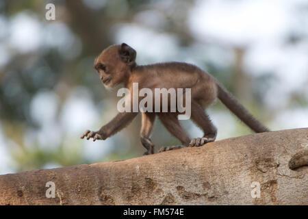Baby langur on tree branch - Stock Photo