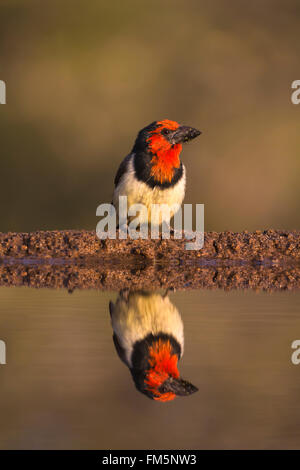 Black collared barbet (Lybius torquatus), Zimanga private game reserve, KwaZulu-Natal, South Africa - Stock Photo