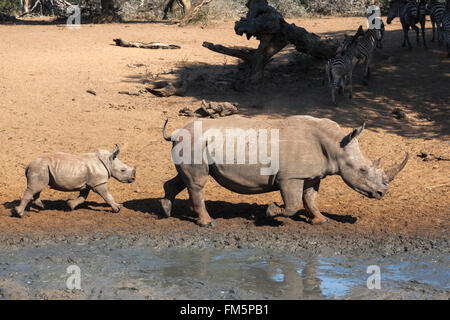 White rhino (Ceratotherium simum) with calf, KwaZulu Natal, South Africa - Stock Photo