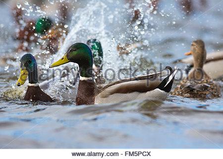 Mallard (Anas platyrhynchos)  drakes and female splashing, Welney Wildfowl and Wetlands Trust Reserve, Norfolk, - Stock Photo