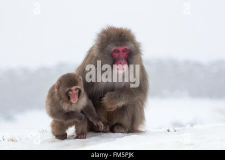 Snow monkey (Macaca fuscata)  with its baby in the snow , Japanese macaque, captive, Highland Wildlife Park, Kingussie, - Stock Photo