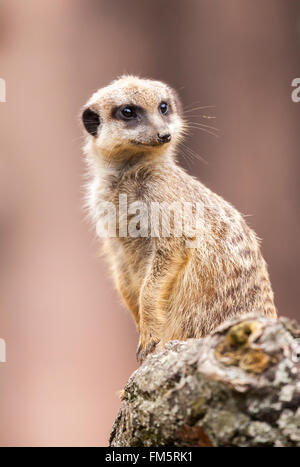 one meerkat sits on wood and looks to the right - Stock Photo