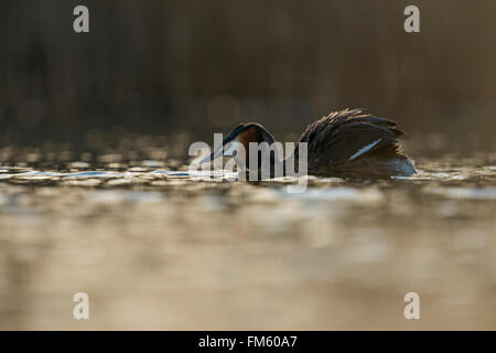 Great Crested Grebe / Haubentaucher ( Podiceps cristatus ) ruffles its feathers, open its wings as part of its courtship - Stock Photo