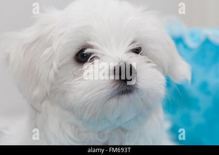 cute white fluffy Maltese puppy - Stock Photo