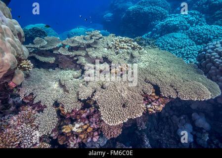 Pristine coral reefs like this one in the Fury shoals are rare in the Red Sea. A good example of laminar or table - Stock Photo