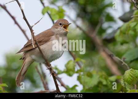 Nightingale (Luscinia megarhynchos) singing in a thorny thicket in Pulborough Brooks nature reserve, April - Stock Photo