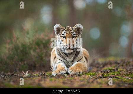 Bengal Tiger / Koenigstiger ( Panthera tigris ), young cute animal, rests on the ground of a forest, showing its - Stock Photo
